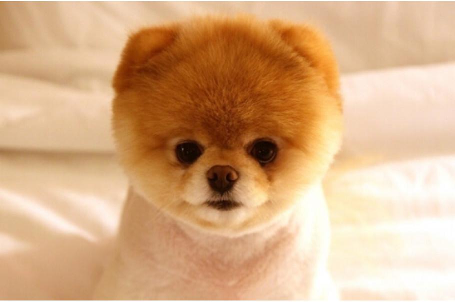 Десять самих маленьких порід собак у світі